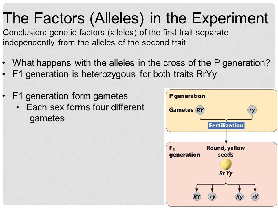 What happens with the alleles in the cross of the P generation? F1 generation is heterozygous for both traits RrYy F1 generation form gametes Each sex