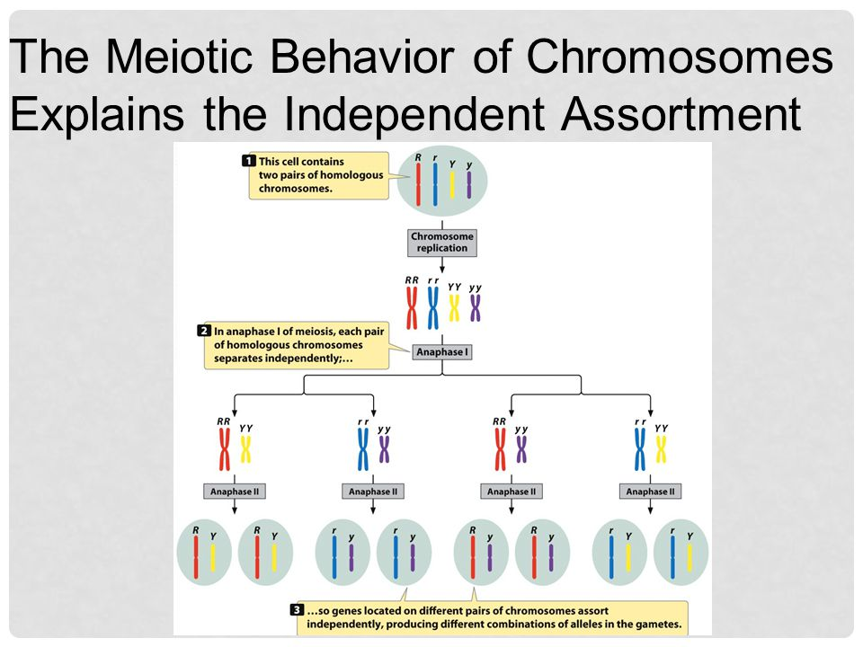 The Meiotic Behavior of Chromosomes Explains the Independent Assortment