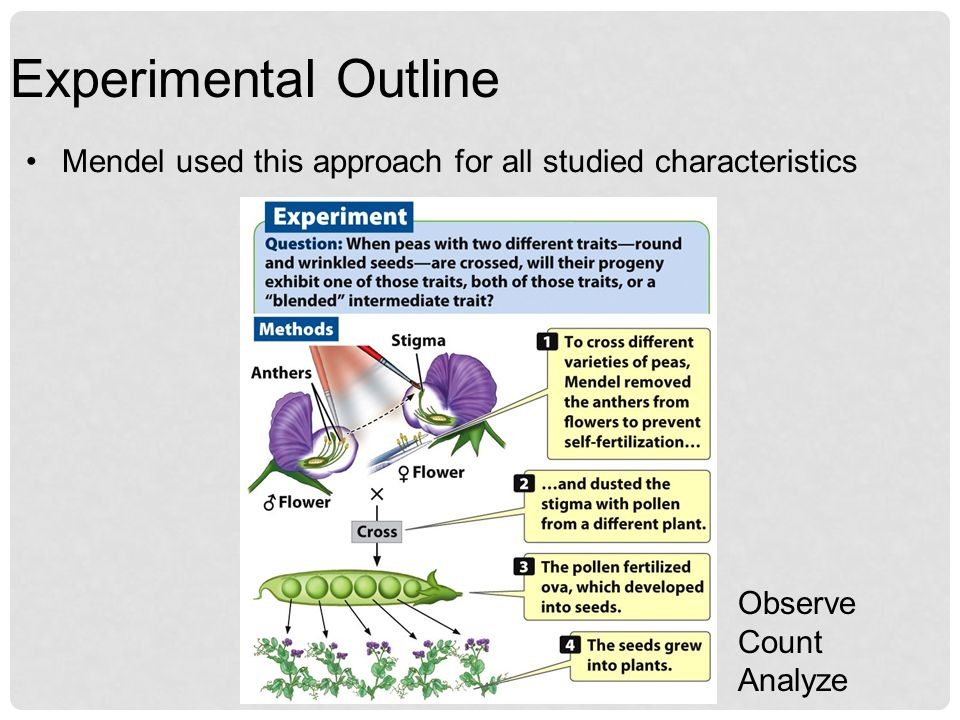 Experimental Outline Mendel used this approach for all studied characteristics Observe Count Analyze