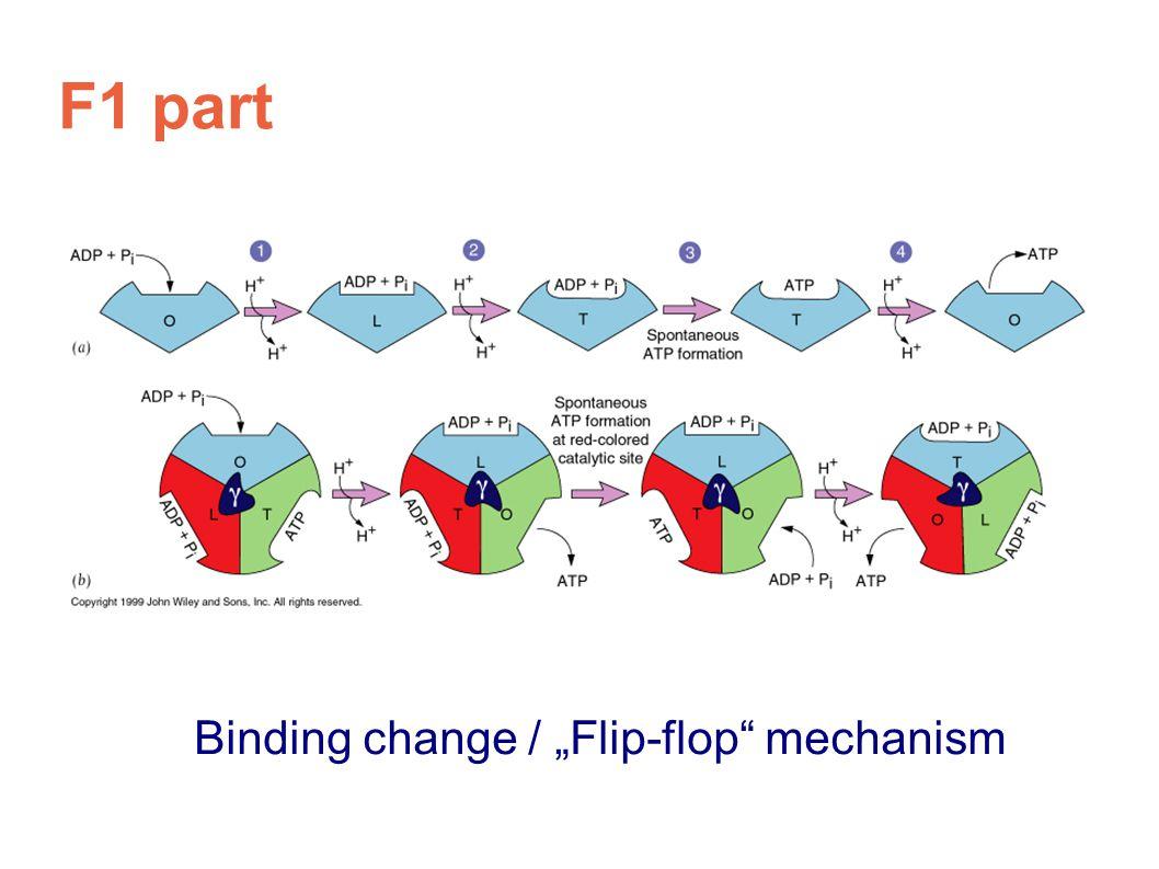"""Binding change / """"Flip-flop"""" mechanism"""