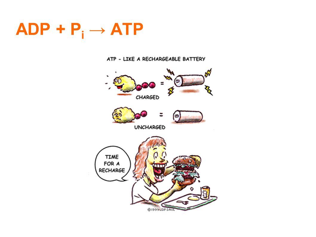 ADP + P i → ATP