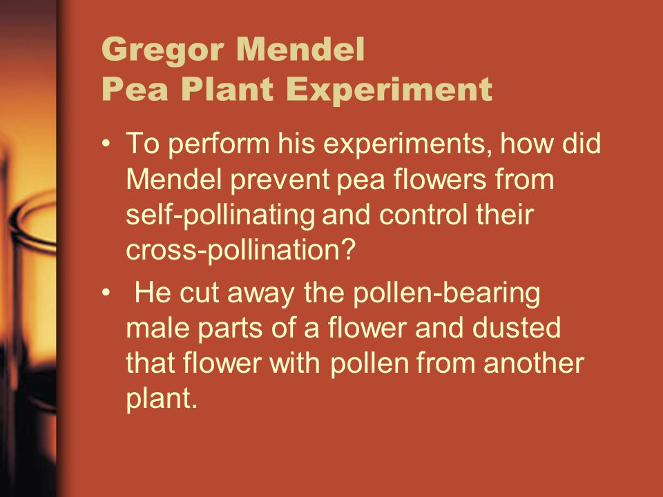 Gregor Mendel Pea Plant Experiment To perform his experiments, how did Mendel prevent pea flowers from self-pollinating and control their cross-pollination.
