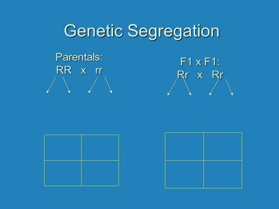 Genetic Segregation Parentals: RR x rr F1 x F1: Rr x Rr