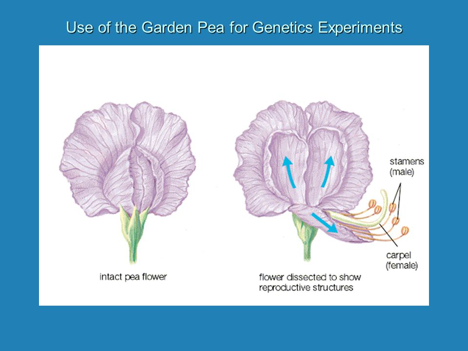 Use of the Garden Pea for Genetics Experiments