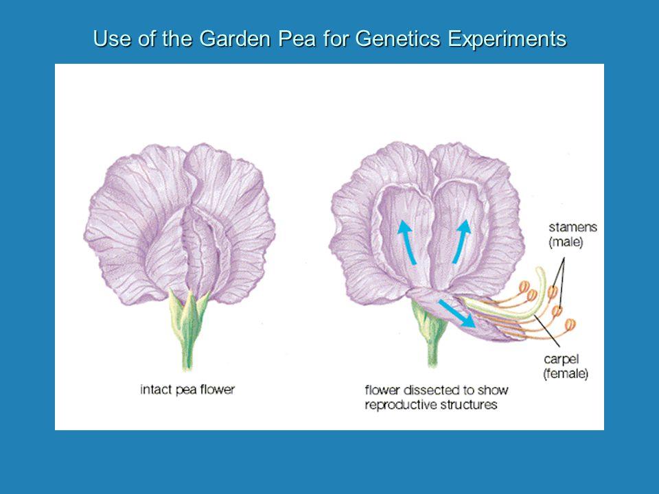 Solving Genetics Problems 1.Convert 1.Convert parental phenotypes to genotypes 2.Use 2.Use Punnett Square to determine genotypes of offspring 3.Convert 3.Convert offspring genotypes to phenotypes