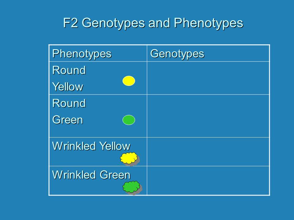 F2 Genotypes and Phenotypes PhenotypesGenotypesRoundYellow RoundGreen Wrinkled Yellow Wrinkled Green