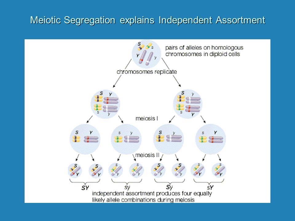 Meiotic Segregation explains Independent Assortment