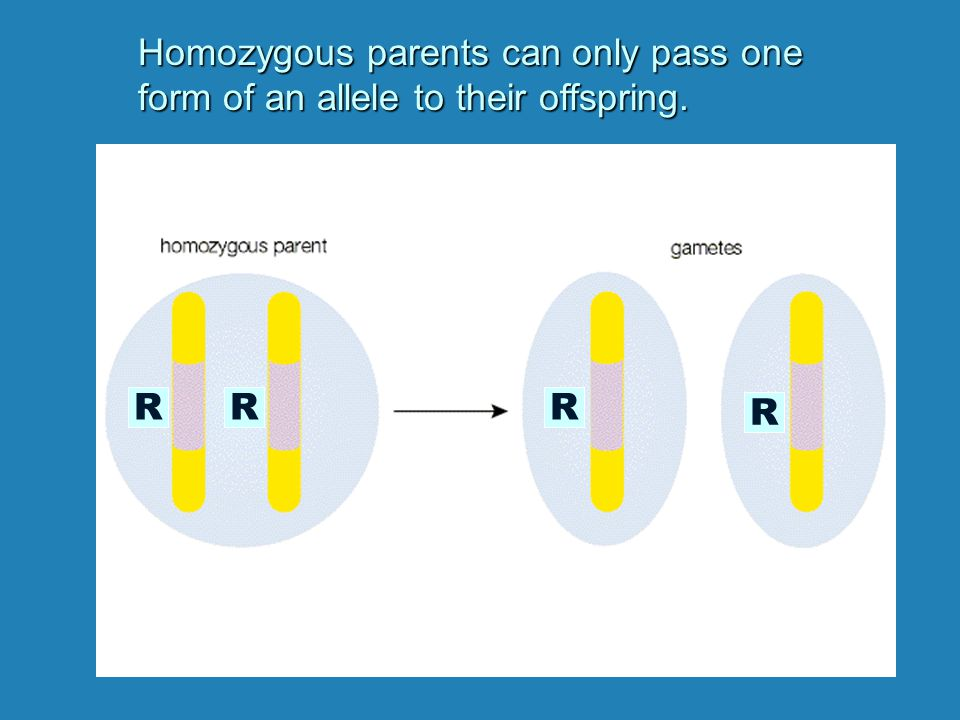 RrRr Heterozygous parents can pass either of two forms of an allele to their offspring.