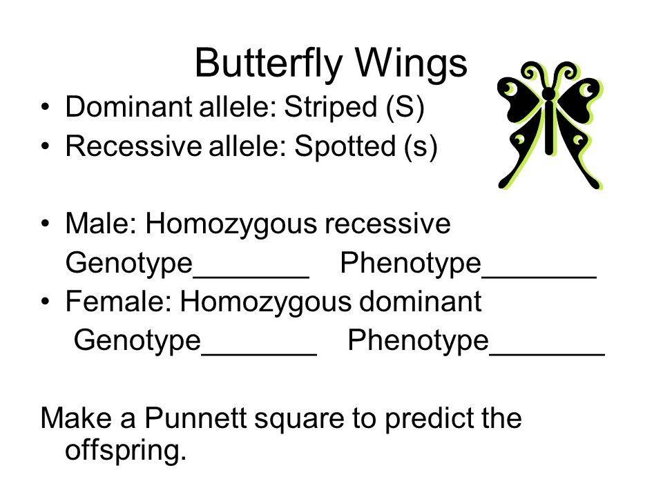 Butterfly Wings Dominant allele: Striped (S) Recessive allele: Spotted (s) Male: Homozygous recessive Genotype_______ Phenotype_______ Female: Homozyg