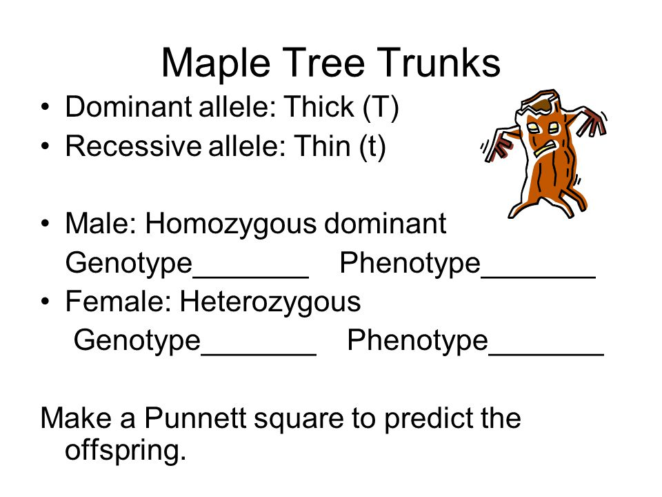 Maple Tree Trunks Dominant allele: Thick (T) Recessive allele: Thin (t) Male: Homozygous dominant Genotype_______ Phenotype_______ Female: Heterozygous Genotype_______ Phenotype_______ Make a Punnett square to predict the offspring.