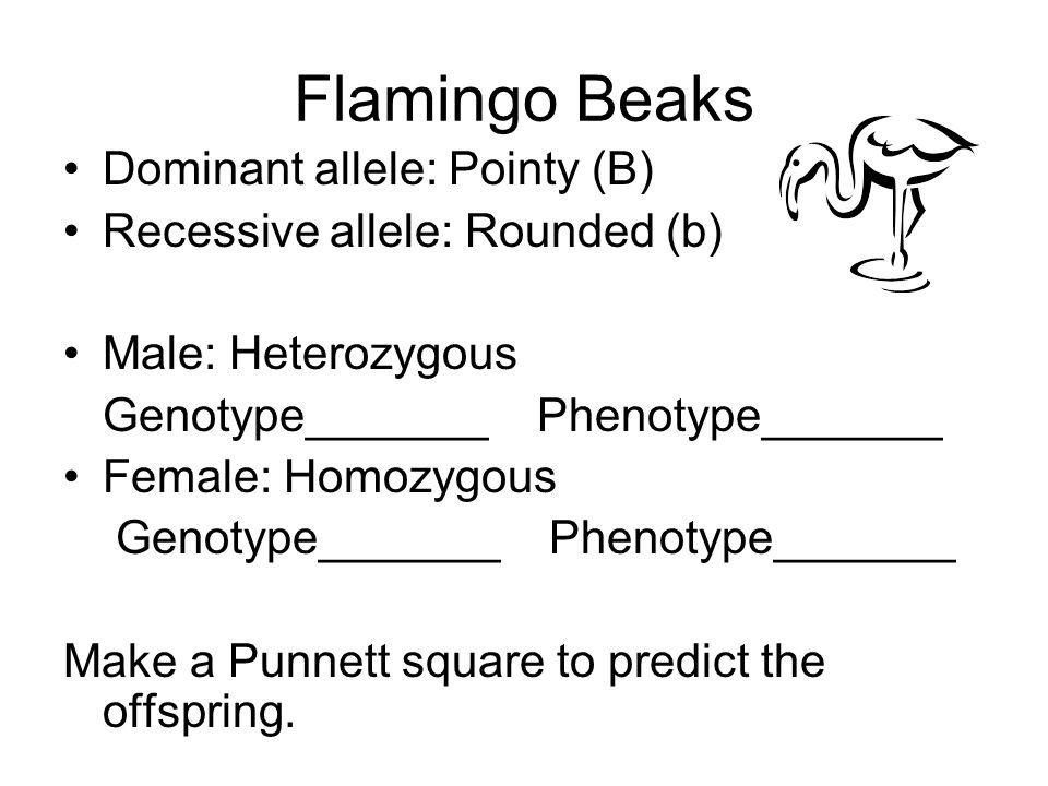 Flamingo Beaks Dominant allele: Pointy (B) Recessive allele: Rounded (b) Male: Heterozygous Genotype_______ Phenotype_______ Female: Homozygous Genoty