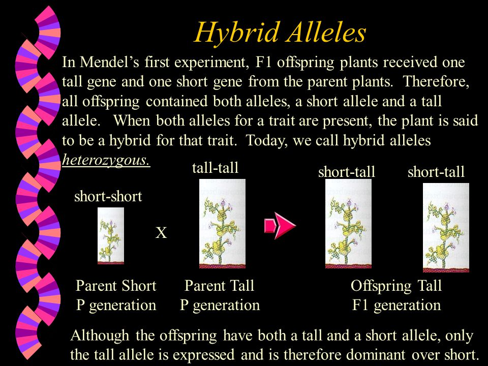Homozygous Genes What Mendel refered to as a purebred plant we now know this to mean that the plant has two identical genes for a particular trait.