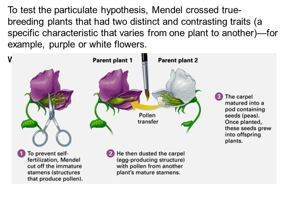 For each monohybrid cross, Mendel cross-fertilized true-breeding plants that were different in just one character—in this case, flower color.