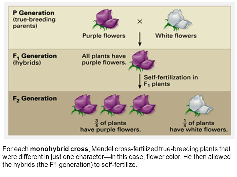 Typical breeding experiment P generation (parental generation) F1 generation (first filial generation, the word filial from the Latin word for son ) are the hybrid offspring.