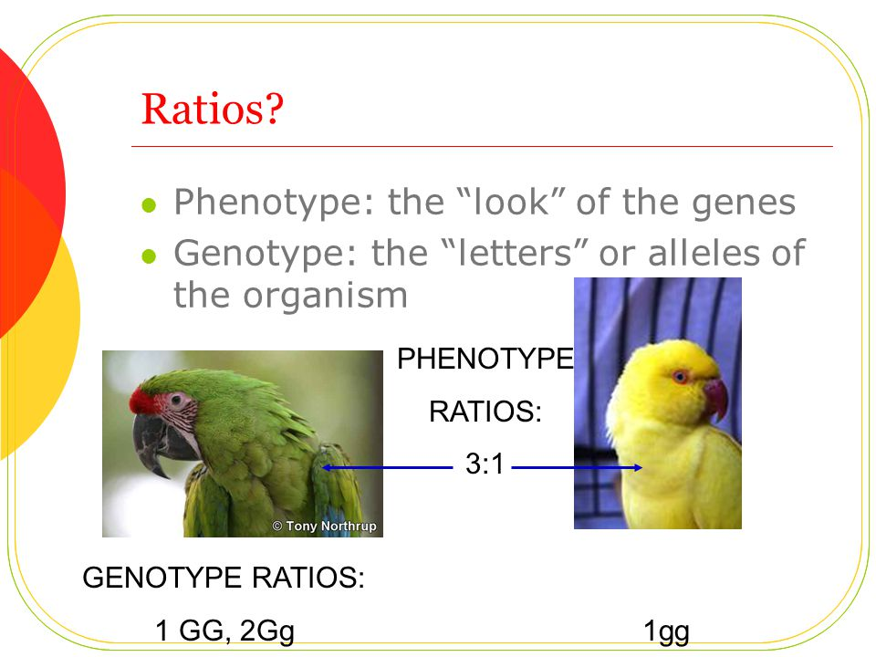 "Ratios? Phenotype: the ""look"" of the genes Genotype: the ""letters"" or alleles of the organism GENOTYPE RATIOS: 1 GG, 2Gg 1gg PHENOTYPE RATIOS: 3:1"
