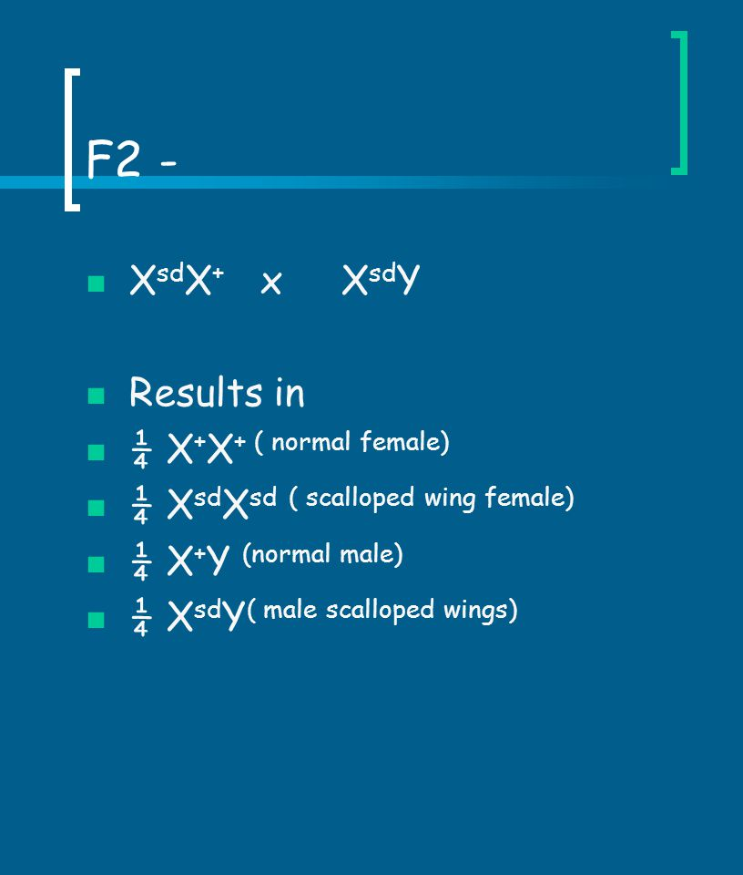 F2 - X sd X + x X sd Y Results in ¼ X + X + ( normal female) ¼ X sd X sd ( scalloped wing female) ¼ X + Y (normal male) ¼ X sd Y ( male scalloped wing