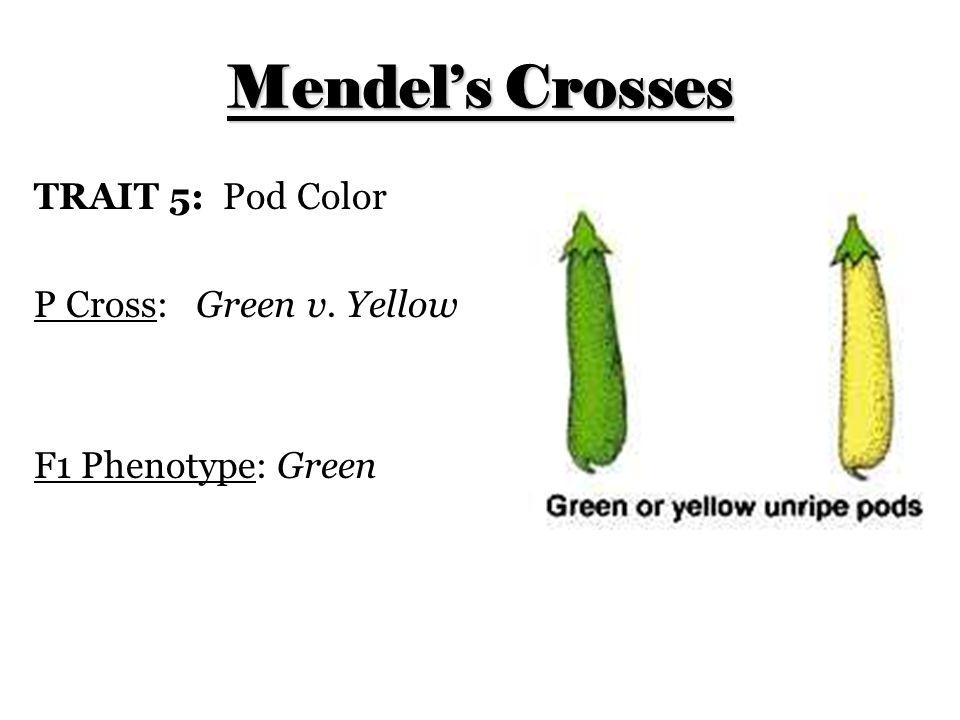 Mendel's Crosses TRAIT 5: Pod Color P Cross: Green v. Yellow F1 Phenotype: Green