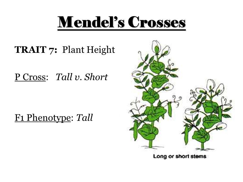 Mendel's Crosses TRAIT 7: Plant Height P Cross: Tall v. Short F1 Phenotype: Tall
