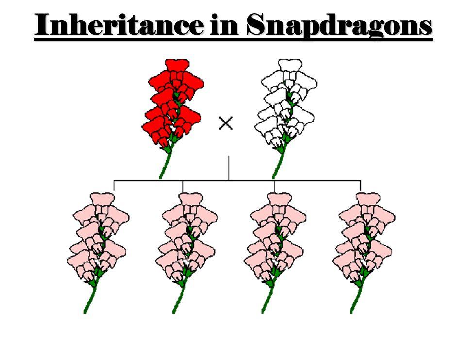 Inheritance in Snapdragons