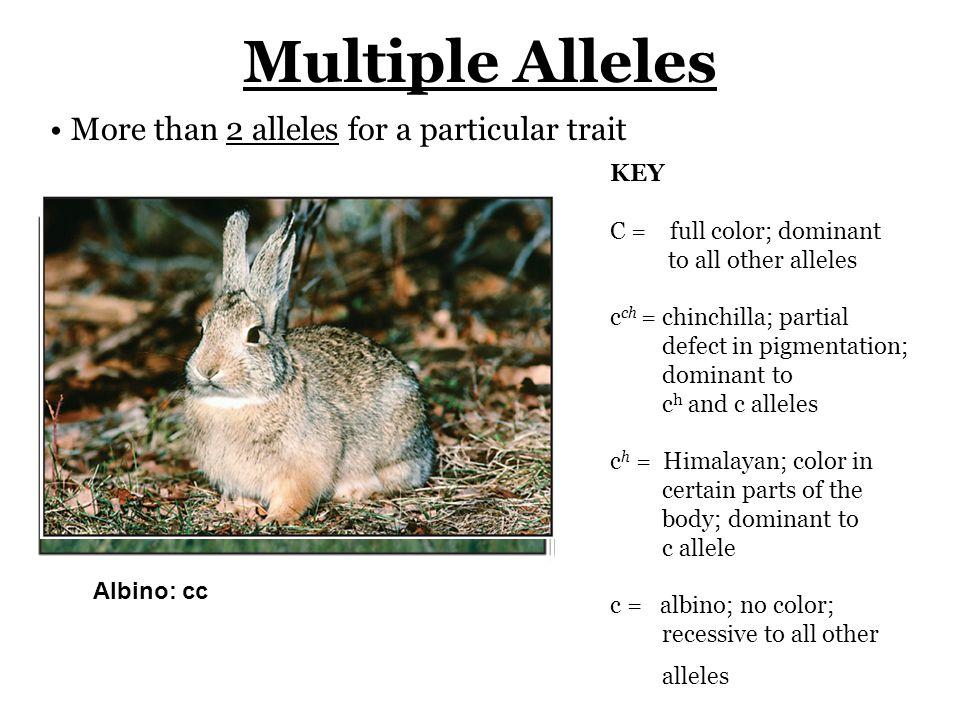 Full color: CC, Cc ch, Cc h, or Cc Chinchilla: c ch c h, c ch c ch, or c ch cHimalayan: c h c, or c h c h AIbino: cc KEY C = full color; dominant to a