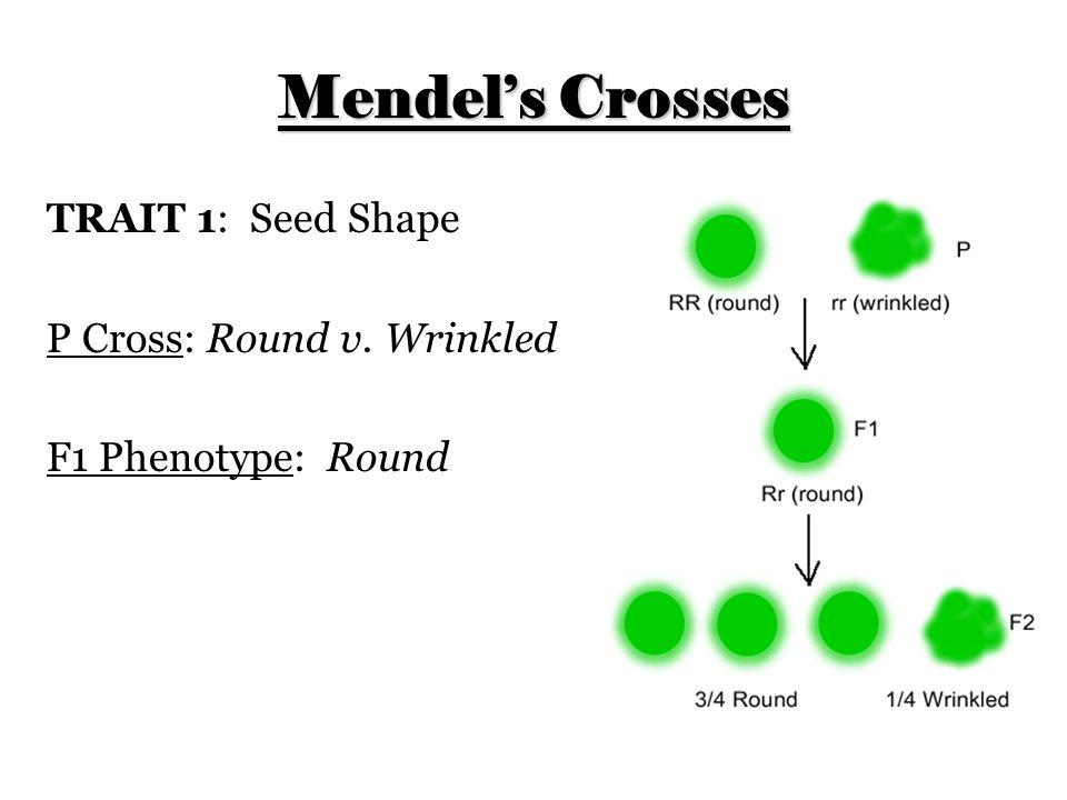 Mendel's Crosses TRAIT 1: Seed Shape P Cross: Round v. Wrinkled F1 Phenotype: Round