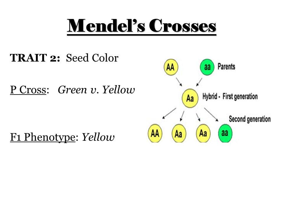 Mendel's Crosses TRAIT 2: Seed Color P Cross: Green v. Yellow F1 Phenotype: Yellow