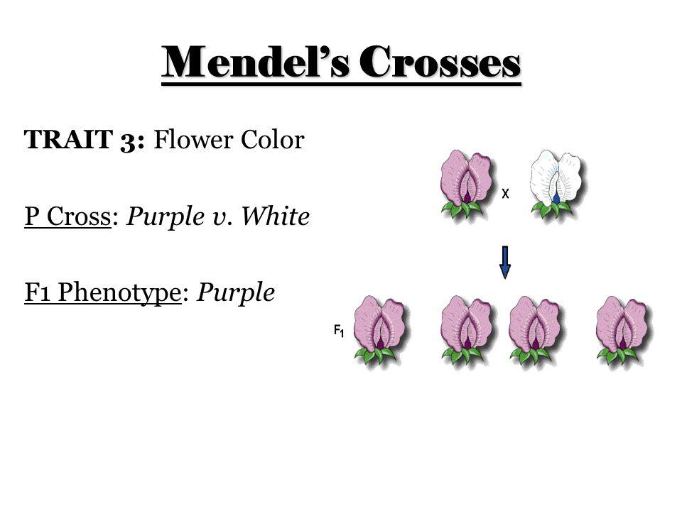Mendel's Crosses TRAIT 3: Flower Color P Cross: Purple v. White F1 Phenotype: Purple