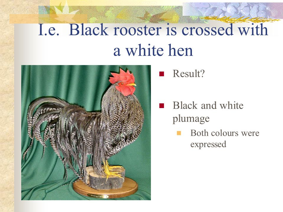 I.e. Black rooster is crossed with a white hen Result? Black and white plumage Both colours were expressed
