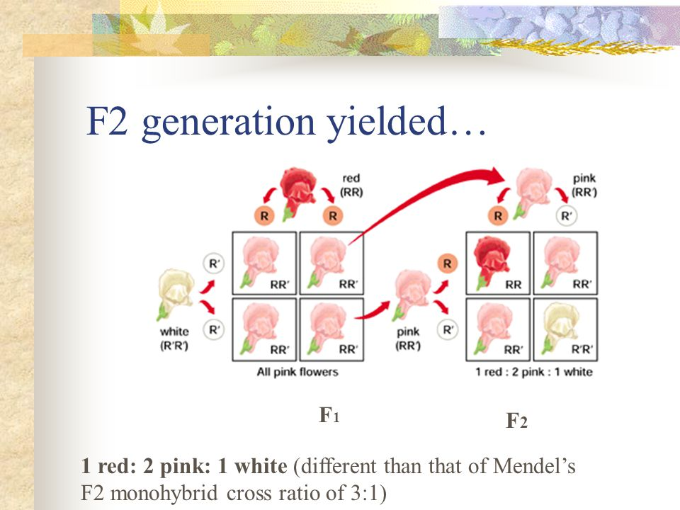 Conclusion: traits do not blend Explanation: Genes code for specific proteins Most are enzymes with different degrees of catalytic activity In this case, One allele (R) codes for an enzyme that produces red pigment