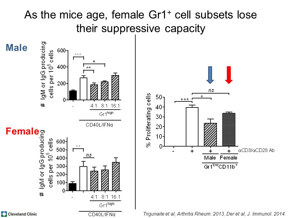 Male Female As the mice age, female Gr1 + cell subsets lose their suppressive capacity CD40L/IFNα Trigunaite et al, Arthritis Rheum.