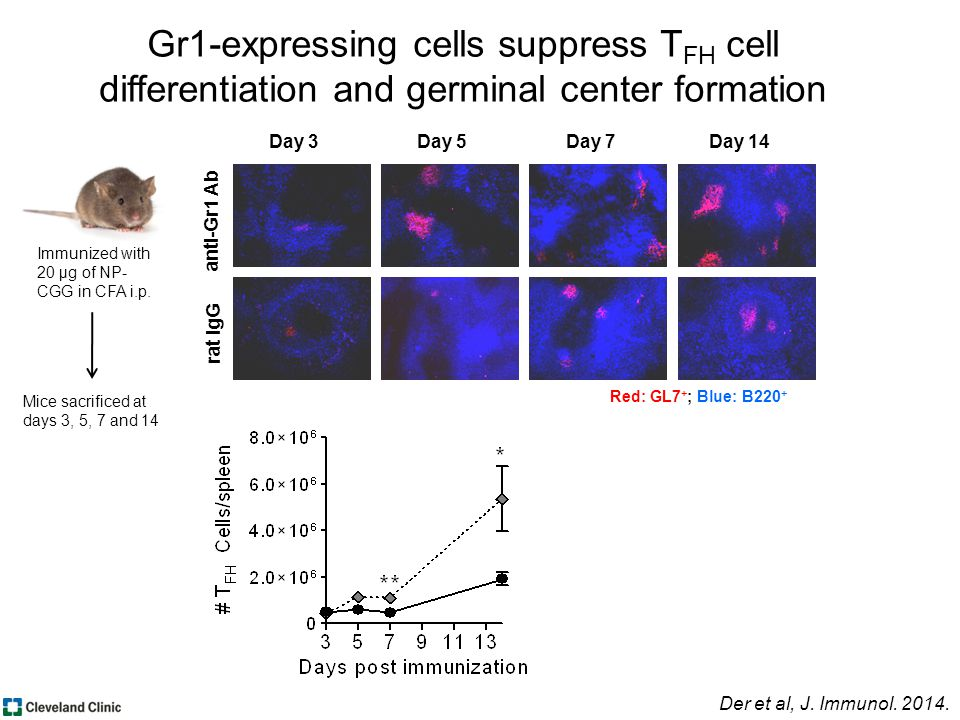 anti-Gr1 Ab rat IgG Day 3Day 5Day 7Day 14 Red: GL7 + ; Blue: B220 + Gr1-expressing cells suppress T FH cell differentiation and germinal center formation Der et al, J.