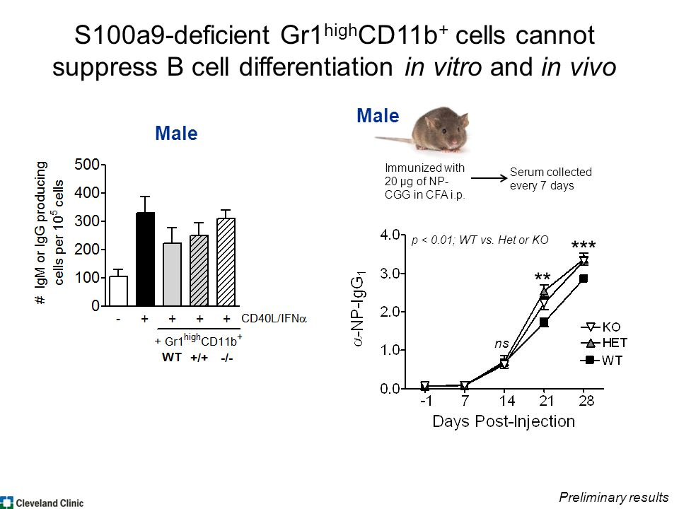 S100a9-deficient Gr1 high CD11b + cells cannot suppress B cell differentiation in vitro and in vivo Preliminary results Male p < 0.01; WT vs.