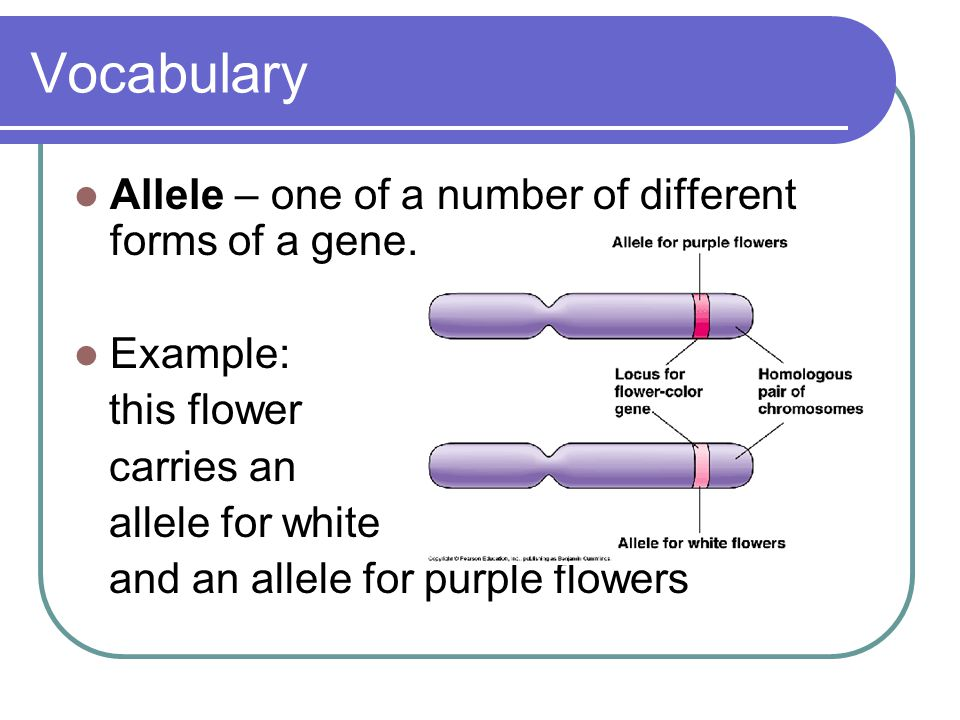 Vocabulary Allele – one of a number of different forms of a gene. Example: this flower carries an allele for white and an allele for purple flowers