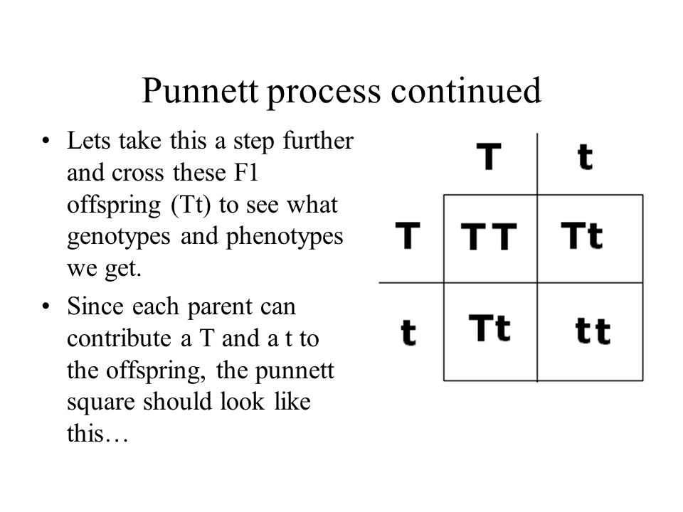 Punnett process continued Lets take this a step further and cross these F1 offspring (Tt) to see what genotypes and phenotypes we get. Since each pare