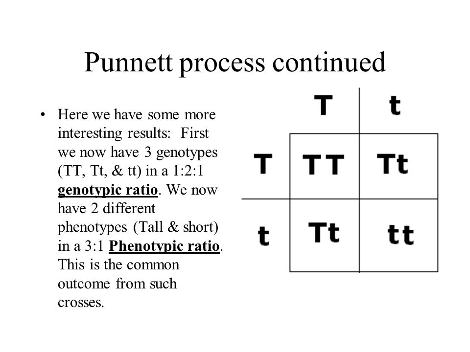 Punnett process continued Here we have some more interesting results: First we now have 3 genotypes (TT, Tt, & tt) in a 1:2:1 genotypic ratio. We now