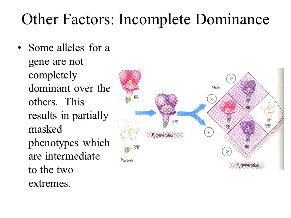 Other Factors: Incomplete Dominance Some alleles for a gene are not completely dominant over the others. This results in partially masked phenotypes w
