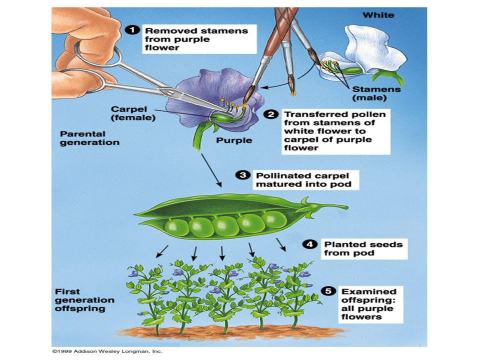 Pea plants have several advantages for genetics.