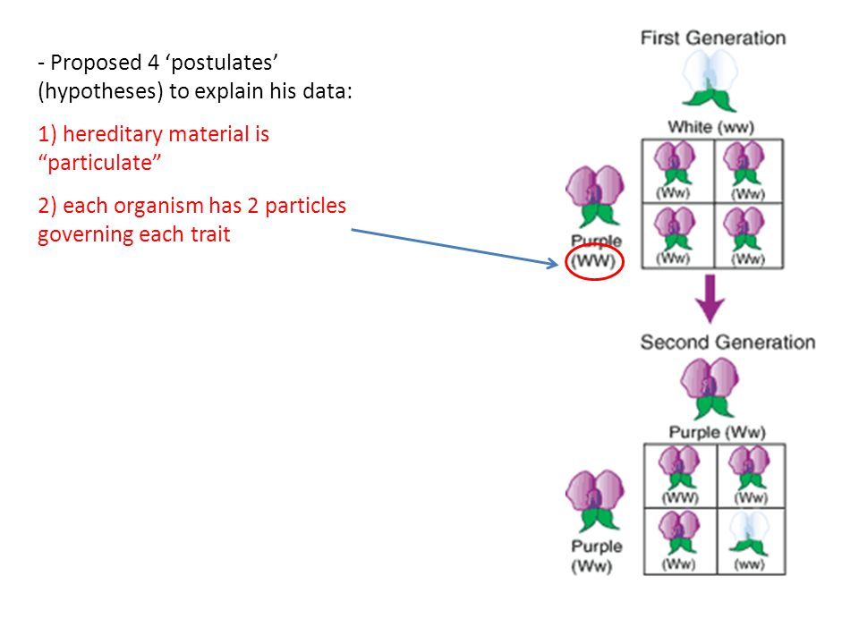 - Proposed 4 'postulates' (hypotheses) to explain his data: 1) hereditary material is particulate 2) each organism has 2 particles governing each trait