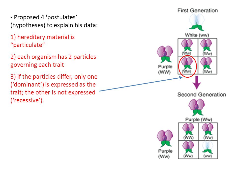 """- Proposed 4 'postulates' (hypotheses) to explain his data: 1) hereditary material is """"particulate"""" 2) each organism has 2 particles governing each tr"""
