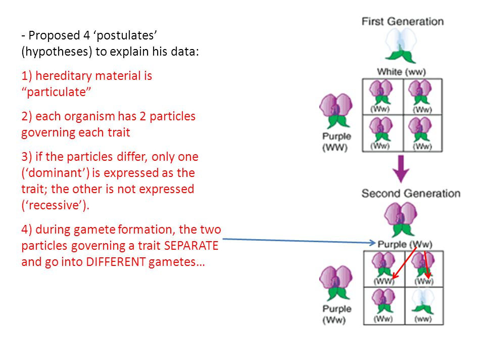 - Proposed 4 'postulates' (hypotheses) to explain his data: 1) hereditary material is particulate 2) each organism has 2 particles governing each trait 3) if the particles differ, only one ('dominant') is expressed as the trait; the other is not expressed ('recessive').
