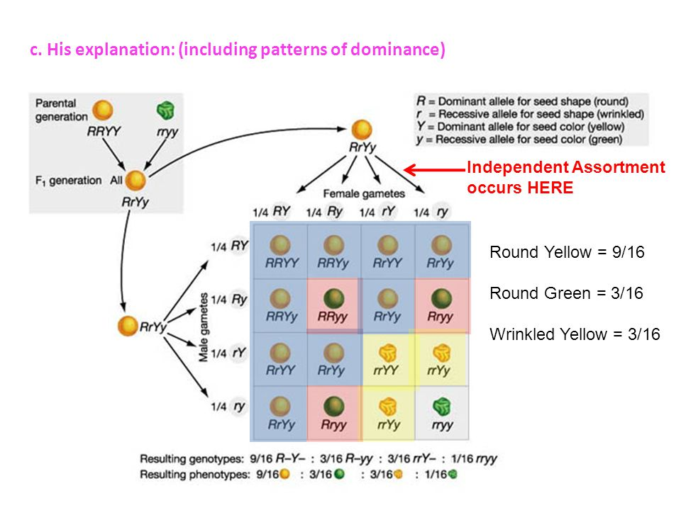 c. His explanation: (including patterns of dominance) Independent Assortment occurs HERE Round Yellow = 9/16 Round Green = 3/16 Wrinkled Yellow = 3/16