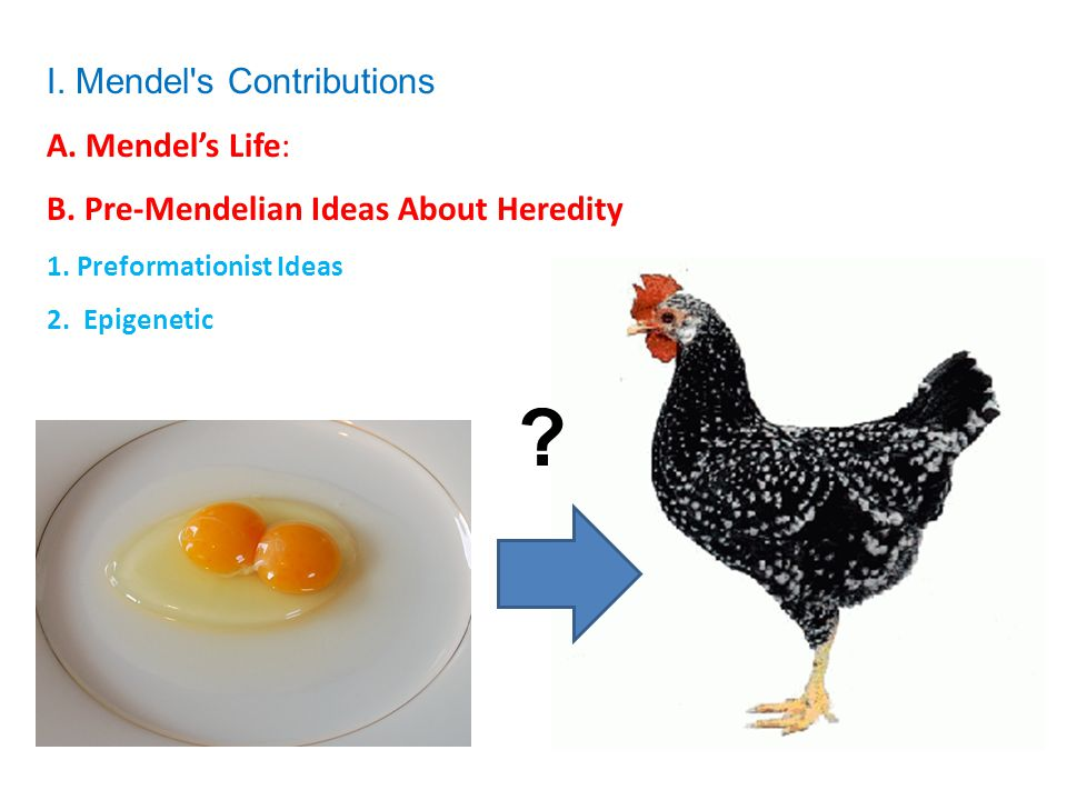 I. Mendel's Contributions A. Mendel's Life: B. Pre-Mendelian Ideas About Heredity 1. Preformationist Ideas 2. Epigenetic ?