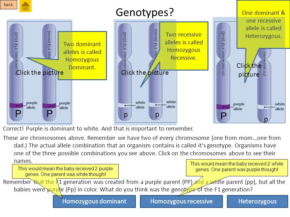 Genotypes? Correct! Purple is dominant to white. And that is important to remember. These are chromosomes above. Remember we have two of every chromos