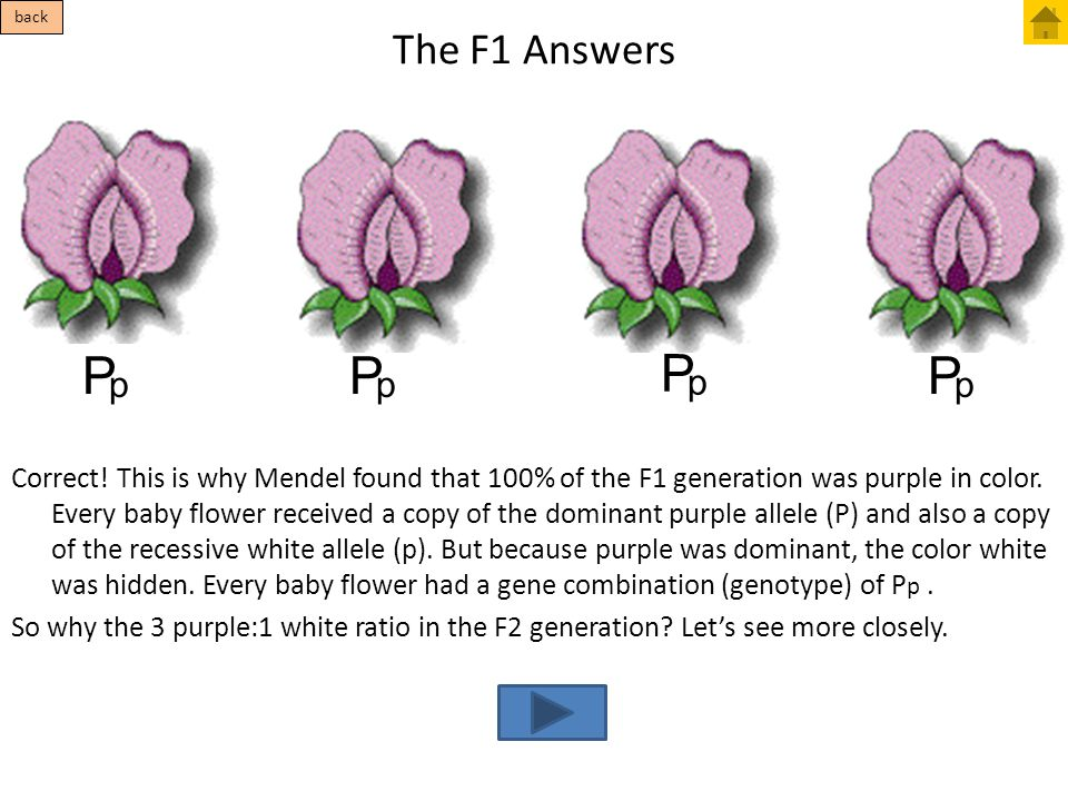 The F1 Answers Correct! This is why Mendel found that 100% of the F1 generation was purple in color. Every baby flower received a copy of the dominant