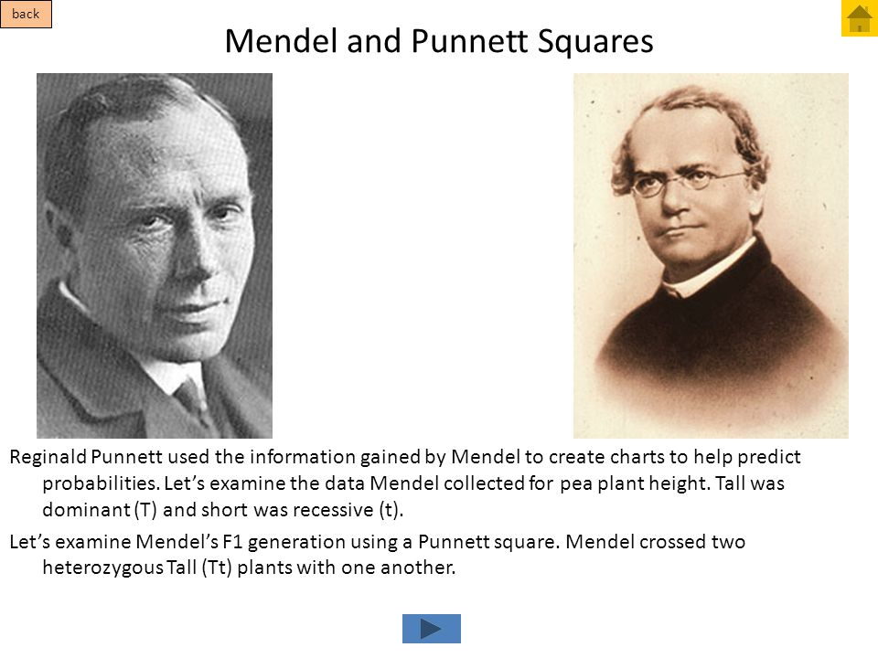 Mendel and Punnett Squares Reginald Punnett used the information gained by Mendel to create charts to help predict probabilities. Let's examine the da