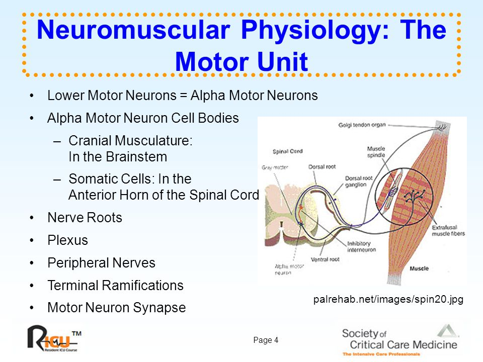 Page 4 Neuromuscular Physiology: The Motor Unit Lower Motor Neurons = Alpha Motor Neurons Alpha Motor Neuron Cell Bodies –Cranial Musculature: In the