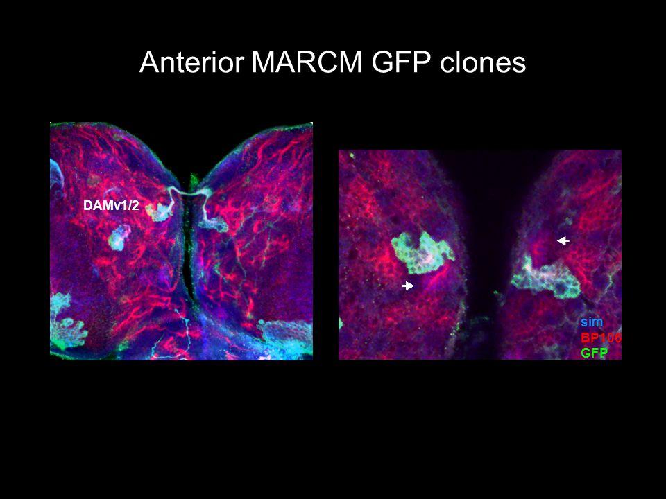 Anterior MARCM GFP clones sim BP106 GFP   DAMv1/2