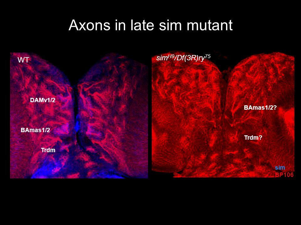 Axons in late sim mutant DAMv1/2 Trdm BAmas1/2 sim BP106 Trdm BAmas1/2 WT sim H9 /Df(3R)ry 75