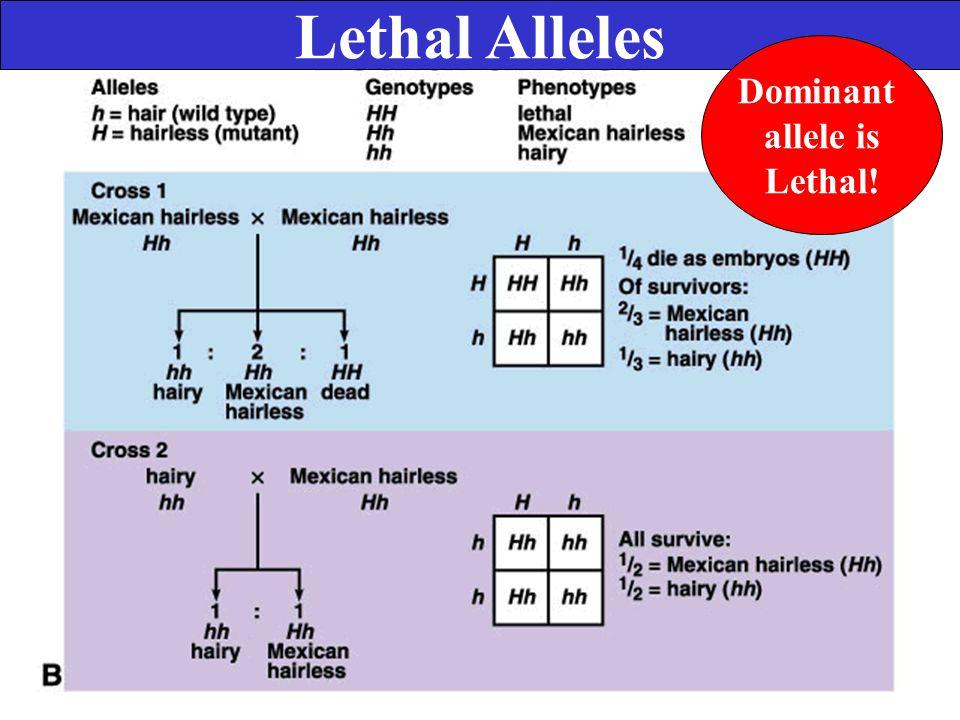 Lethal Alleles Dominant allele is Lethal!