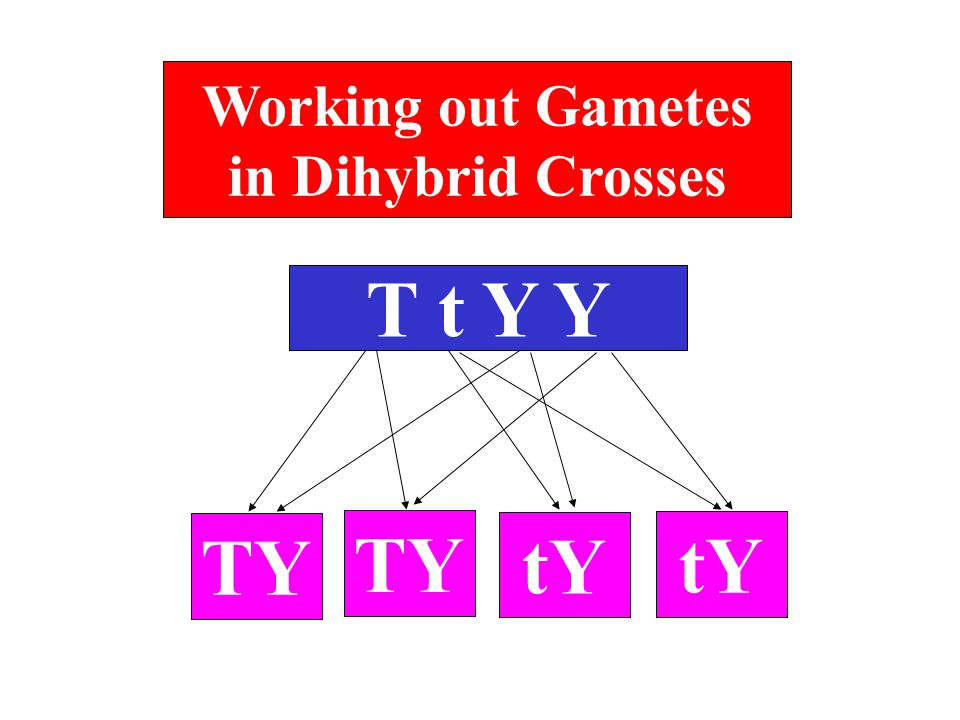 Working out Gametes in Dihybrid Crosses T t Y Y TY tY